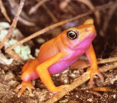 Atelopus flavescens, a related species in Colombia